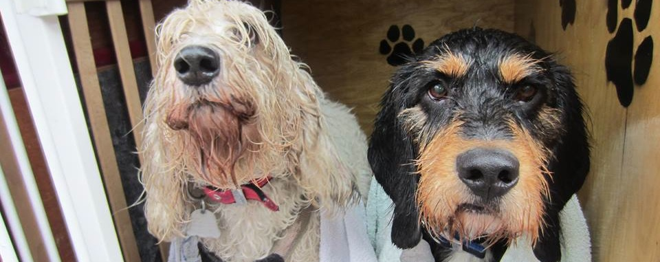 Two Spanish Griffons, happily adopted in the Netherlands