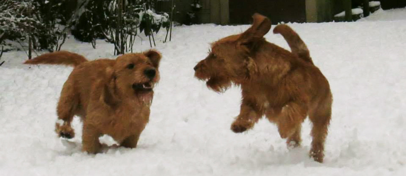 Basset Fauves having a lot of fun playing in the snow