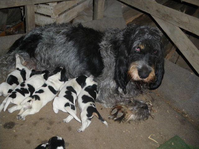 http://www.adopt-a-griffon.eu/en/wp-content/uploads/2016/01/bleu-pups.jpg