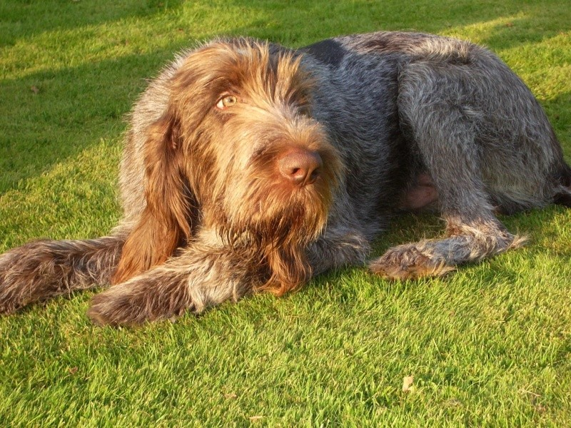 Spinones love lazying on the grass