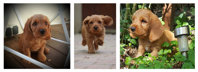 Basset Fauve de Bretagne puppy, and we share images. We love puppy spam!