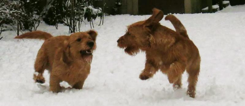 Basset Leonados jugando en la nieve