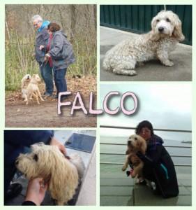 Falco, rescatado de una perrera en Galicia, ahora felizmente adoptado por una maravillosa pareja holandesa.