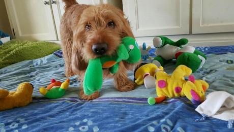 los basset leonado quieren a sus juguetes