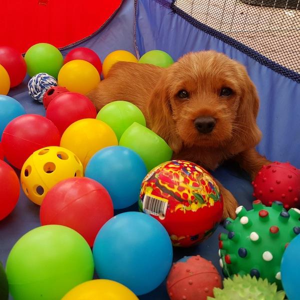 Cachorro de Basset Leonado con una pelota en la piscina de pelotas.