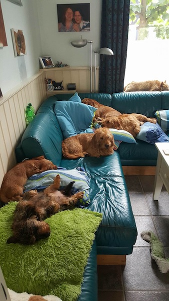 Como todos los grifones, los Basset Fauve aman ser tratados como lo que son: un miembro de verdad en nuestras familias y eso significa compartir con ellos el sofá!