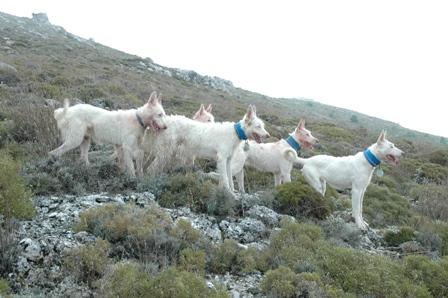 Podenco Campanero, una de las razas dentro del Valdueza